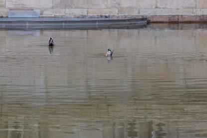 Ducks on the still water