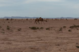 Wild camels eating