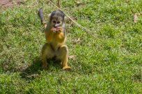 ultra cute squirrel monkey