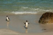 penguin on the beach with his flippers up so it looks like he's waving at us