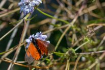 An orange butterfly on a purple flower