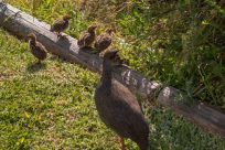 Guinea fowl with 3 chicks