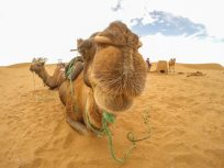Close up shot of a camel