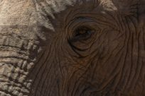 Upclose elephant eye, so many wrinkles