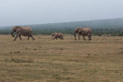 Morning march to the watering hole, 2 mumma elephants and a baby in the middle