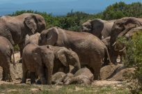 Herd of elephants at the watering hole