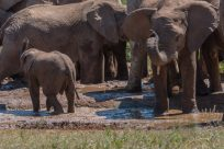Elephants at the watering holee