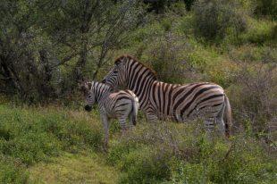 Baby zebra with her mumma