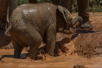 Baby elephant spraying mud over itself