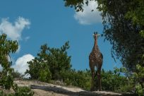 Girafe, contrasting against the bright blue sky and green bushes