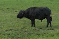 Cape Buffalo on the roam