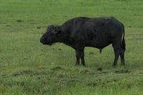 Cape Buffalo on the roam