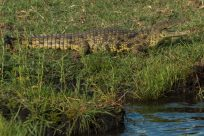 Croc on the waters edge