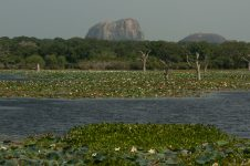 water lilies in the lake, elephant rock behind