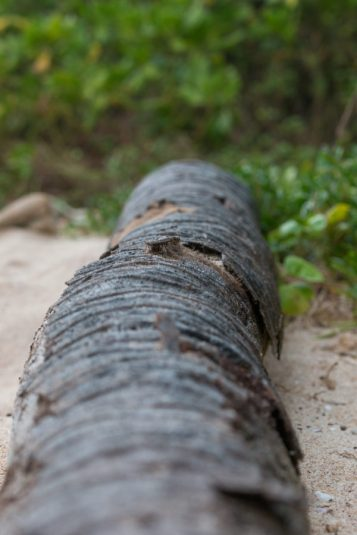 Focused on the detail of a fallen palm trunk, sand and bush blurred behind