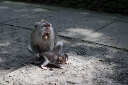 Mumma monkey showing her teeth (just a big yawn) but it looks frightening!