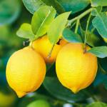 Tratament naturist pentru a CURATA colecistul si a PREVENI criza de fiere cu lamaie si ulei de masline