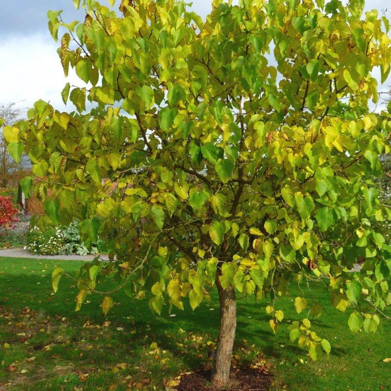 dud, pomi ornamentali, pomi care cresc repede, copaci,