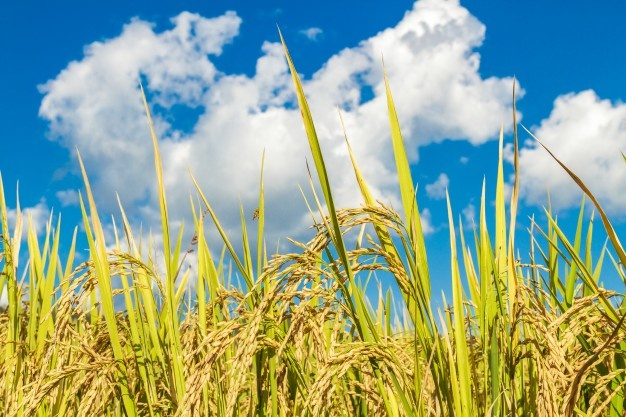 cultura de orez