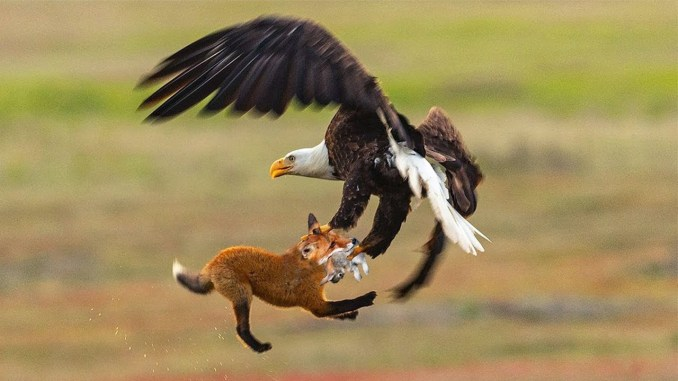 Eagles Are Fearless Hunters