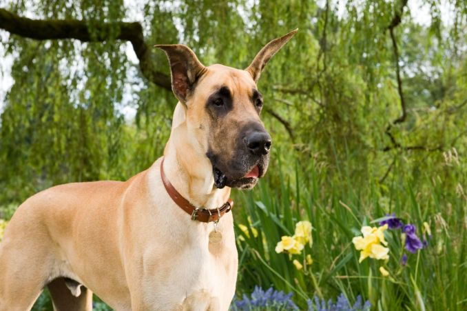 Marmaduke dog, What kind of Dog is it and Can it be Family?
