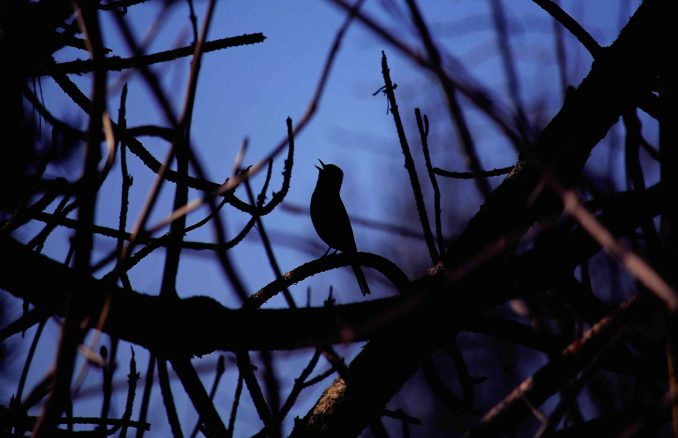 Birds Known For Chirping At Night