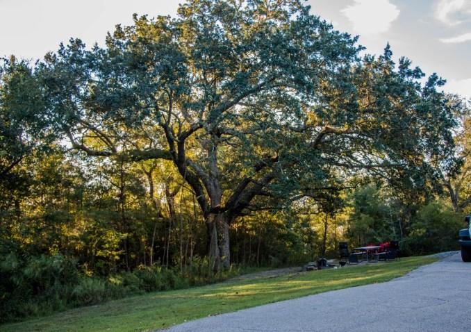 US Symbol National Tree –  Oak Tree