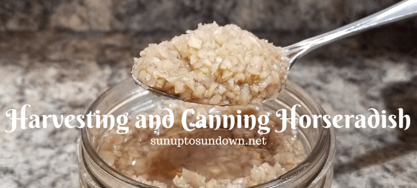 Harvesting and Canning Horseradish
