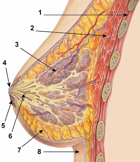 anatomija dojke