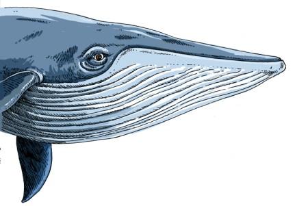 baleine-bleue-2-copie