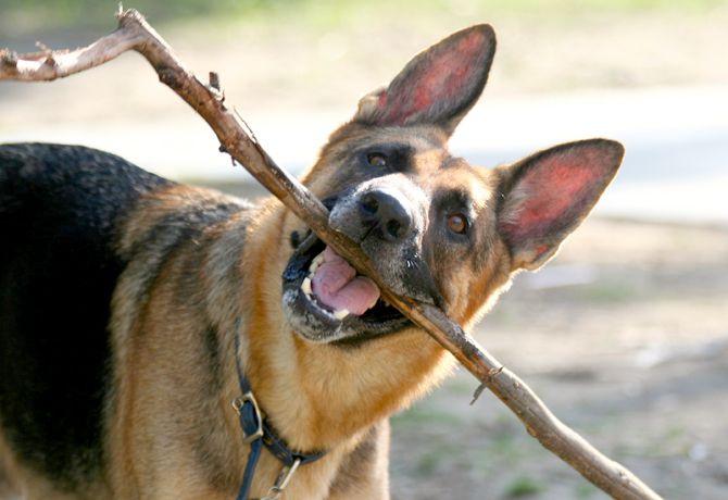 ¿Por qué mi perro come ramas y piedras?