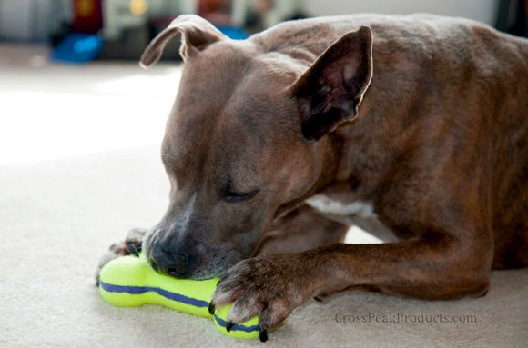 Myko with Kong Air Squeaker Bone Dog Toy