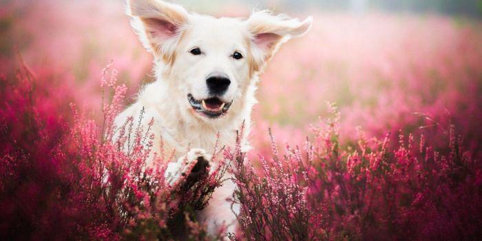 Dog Face In Flower Field Wallpaper 1280×720