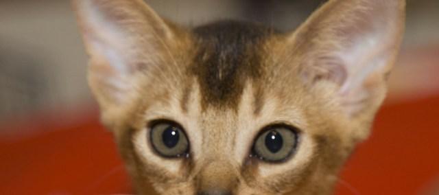 Питомник #FineDream #Абиссинских кошек SuperCats Вл. Кира Гришаева, Саратов