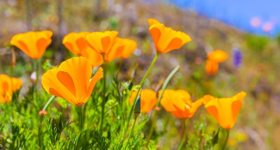 Poppies poppy flowers in orange at California spring fields