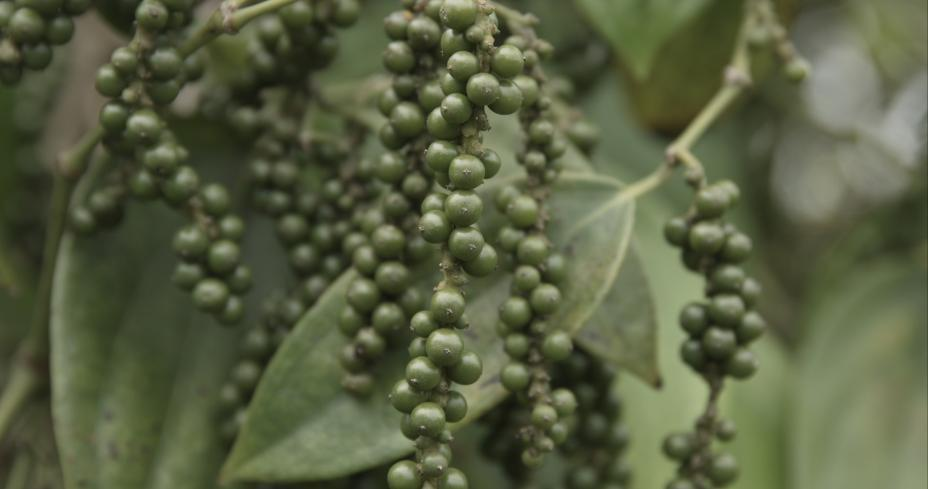 Separation of piperine from pepper supercritical CO2 extract