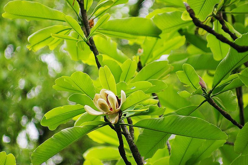 Supercritical CO2 extraction of Magnolia officinalis