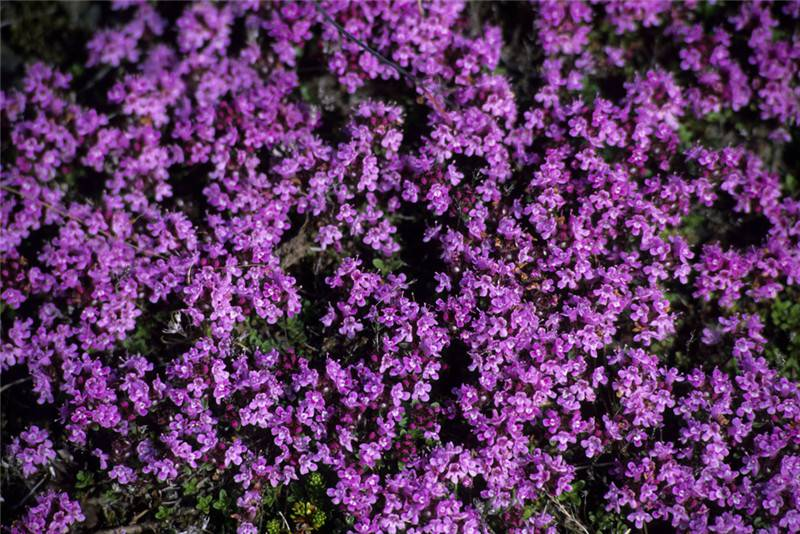 Supercritical CO2 fluid extraction of thyme essential oil