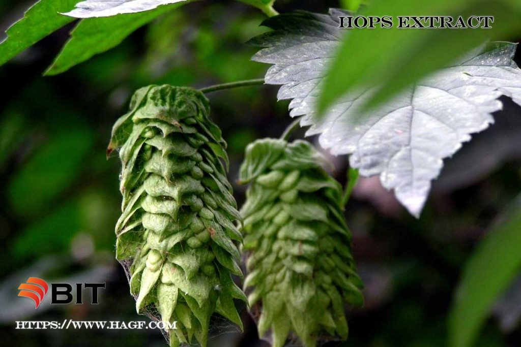 Supercritical CO2 Extraction of Hops Extract