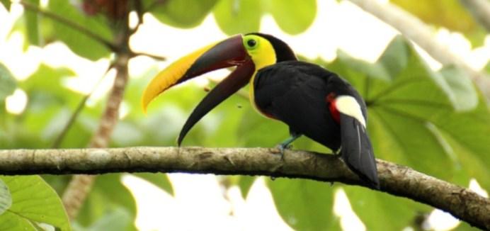 Curiosidades do tucano da Costa Rica
