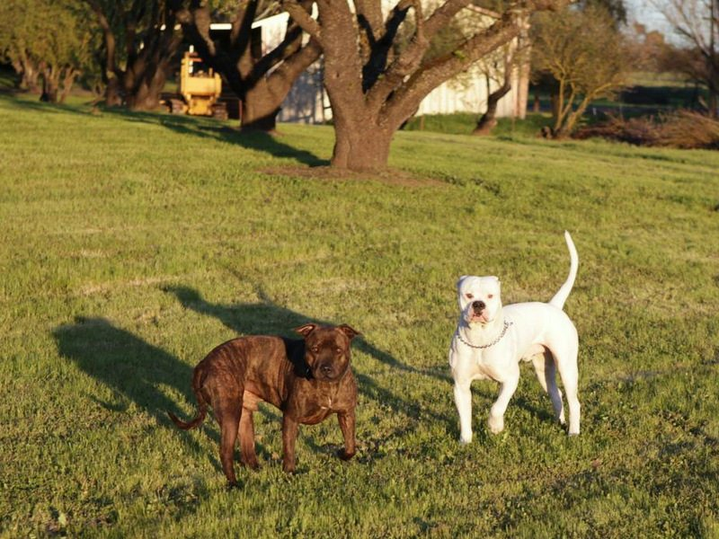 Bully breeds making friends with Pit Bulls-image.