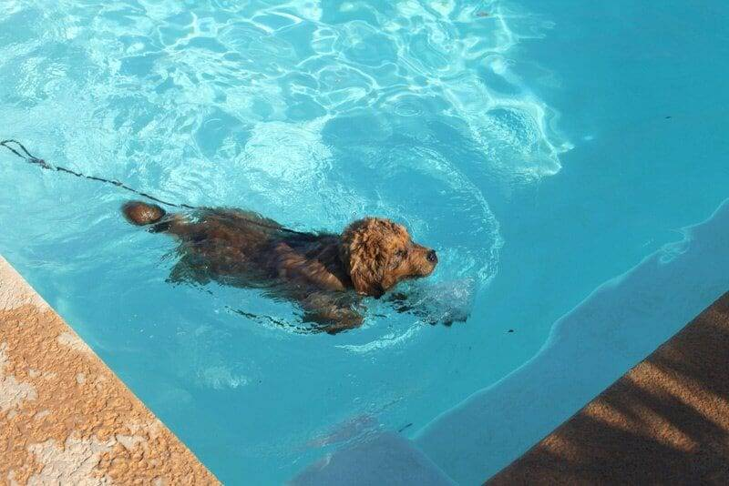 teaching your dog to swim image
