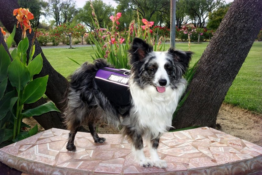 Service Dogs, Emotional Support Dogs and Therapy Dogs