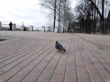 Обычное селфи голубя 2