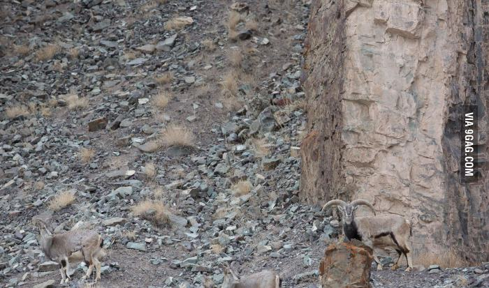 Can-you-guys-spot-the-snow-leopard