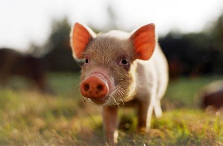 Pig-On-the-Farm