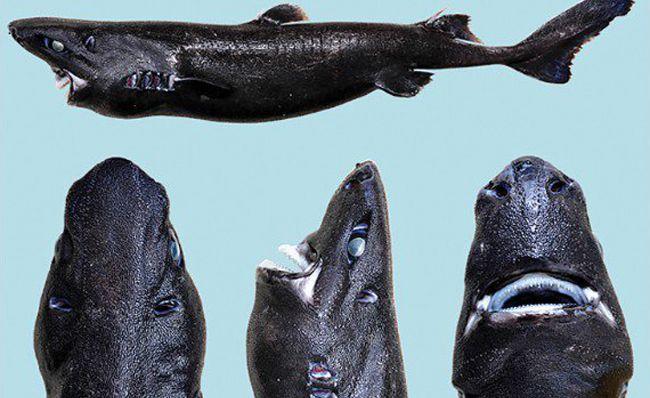 ninja_shark