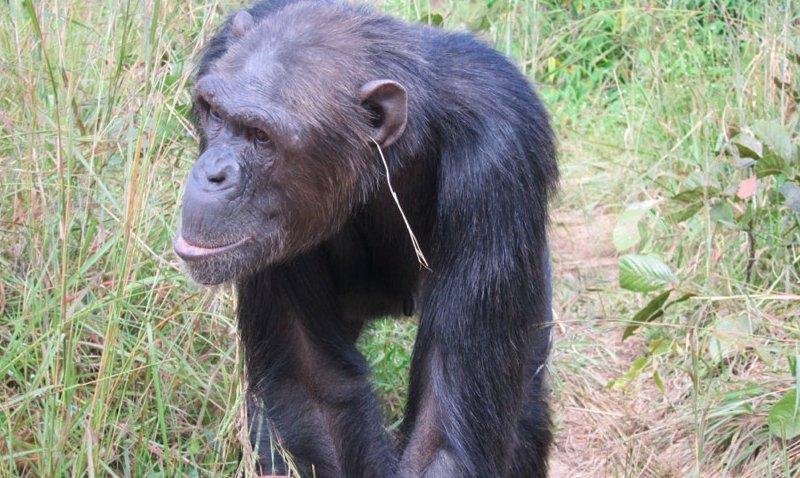 grass-in-ear-chimpanzee-jpg__800x600_q85_crop