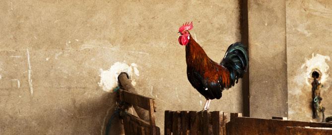 Superstition Saturday: Chicken – Supernaturally Speaking