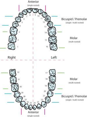 Teeth numbering Teeth numbers | Supernumerary Teeth